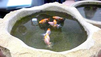 来待石金魚鉢イメージ
